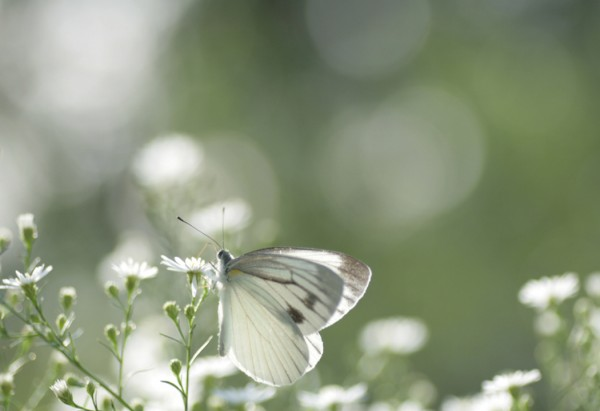 butterfly rosemary