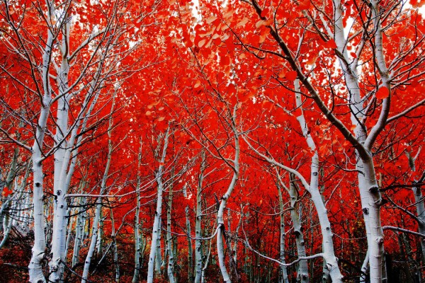red trees Pacheco